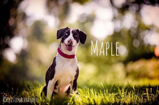 Maple *ADOPTED*