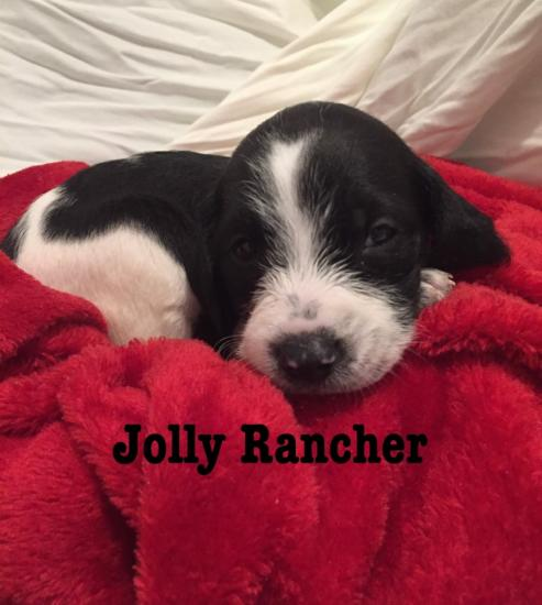 Jolly Rancher *ADOPTED*